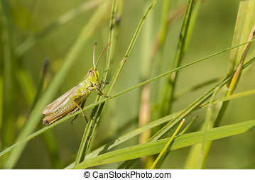 Meadow Grasshopper (Chorthippus parallelus) male resting on...