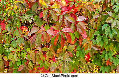 Virginia creeper backgrounds - many autumn leaves of...