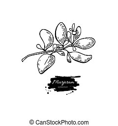 Marjoram vector hand drawn illustration. Isolated spice...