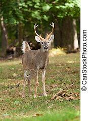 Whitetailed Deer Buck - A Whitetailed deer buck stand at the...