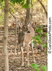 Whitetailed Deer Doe - A Whitetailed deer doe stands in the...