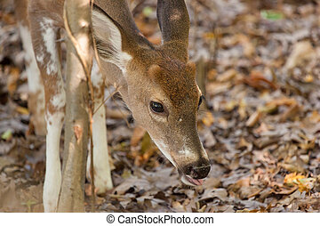 Young Piebald Whitetailed Buck - A young male piebald...
