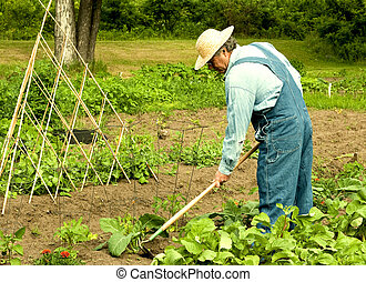 man weeding his garden - man weeding vegetable plants in his...