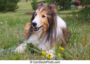 Shetland Sheep dog Sheltie - a sheltie lauying in grass and...