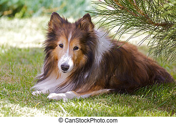 Shetland Sheep dog Sheltie - a sheltie takes a break from...