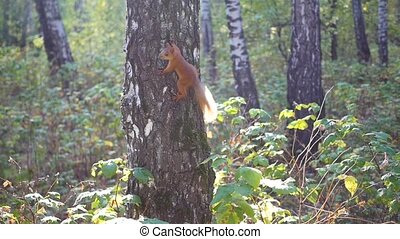 mischievous squirrel jumps on a tree and waving his tail -...