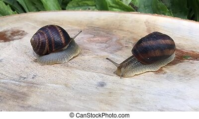 two snail crawling on a tree stump, Timelapse
