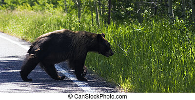 Bear in Glacier National Park