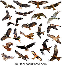 Group of medium sized diurnal birds of prey - Eagles and...