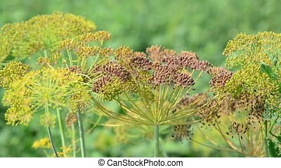 Umbrellas of fennel with seeds in August - Umbrellas of...