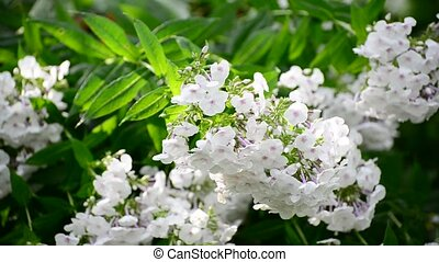 White phlox in rain in summer - White phlox in the rain in...