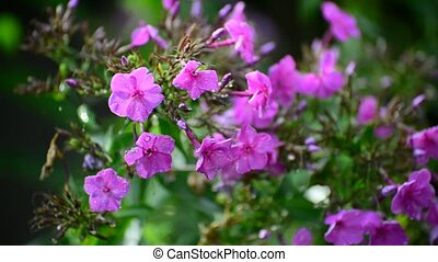 Pink phlox in rain in summer - Pink phlox in the rain in...