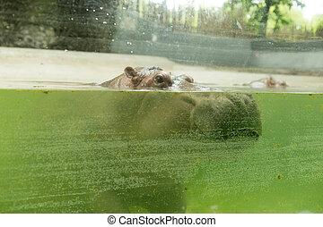 Hippo eyes open in water in the zoo