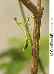 Praying Mantis, Costa Rica - Praying Mantis, Monteverde Rain...