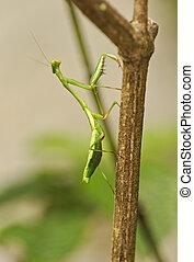 Praying Mantis, Costa Rica - Praying Mantis, Monteverde Rain...