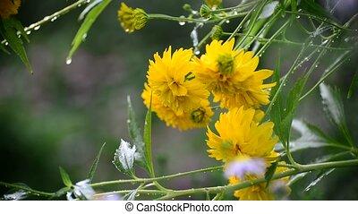 Yellow flowers in garden in the rain