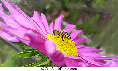Autumn. Honey Bee on the pink aster