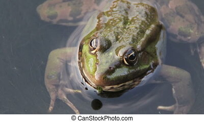 Frog in the River - Green frog sitting in the river. Close...