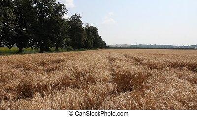 Wheat field in the summer sun