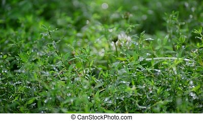 green grass in rain drops - a green grass in rain drops