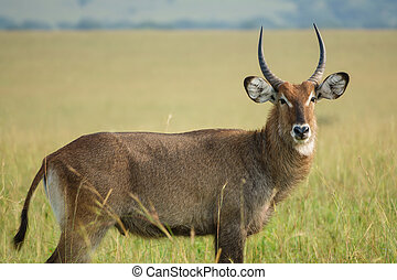 Portrait of a Waterbuck bull - Side view of Waterbuck bull...
