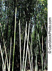Bamboo trees - A bunch of Bamboo trees
