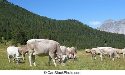 Cows on the green field. Cows in Alps