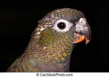 pionus parrot - closeup portrait of a pionus parrot, black...