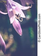 Garden Bluebell Flower - Purple bluebell flower in the...