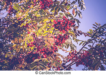Mountain Ash in Autumn - Bright red mountain ash on a branch...