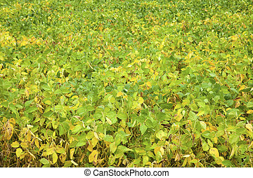 Green soybeans - end of August