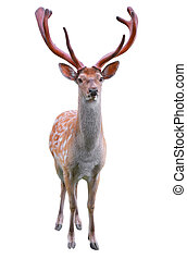 deer isolated in white background