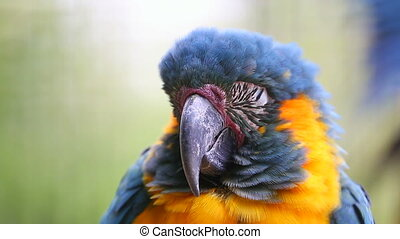 Sleeping Parrot - Blue and Yellow Macaw Sleeping - Closeup...