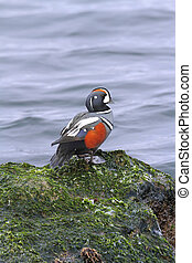 Harlequin Duck - Male Harlequin Duck histrionicus...