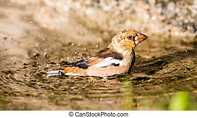 Hawfinchs bath - The beautiful young Hawfinch Coccothraustes...