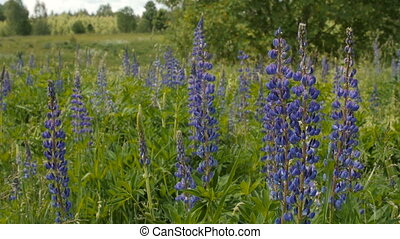 Blue lupine in the meadow. Day, slow motion