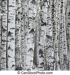 Birch Tree Forest Large Background - Birch Tree Forest At...