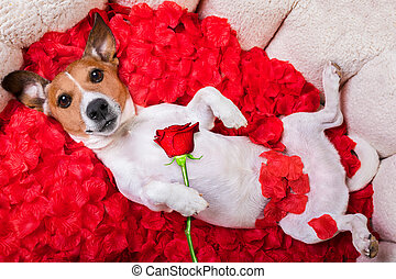 dog love rose valentines - jack russell dog looking and...