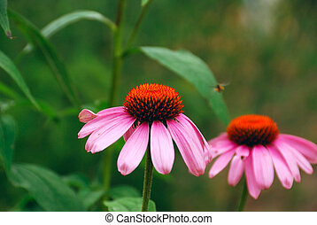 Two bright flowers of Echinacea
