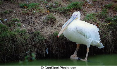 Great White Pelican In Heavy Rain - Great White Pelican...