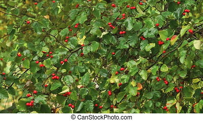 Hawthorn berries in the garden. - Hawthorn berries on a...