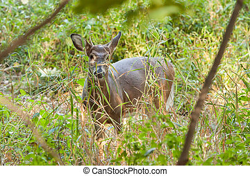 Whitetailed Buck - A whitetailed buck stands in the forest...