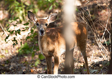 Female Whitetailed Fawn - A whitetailed female fawn stands...