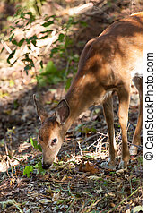 Female Whitetailed Fawn - A whitetailed female fawn grazes...
