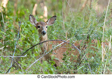 Whitetailed Female Fawn - A whitetailed female fawn stands...