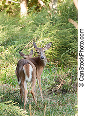 Whitetailed Doe in Woods - A whitetailed doe stands in the...