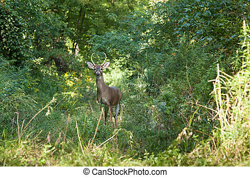 Whitetailed Buck - A whitetailed buck stands in tall grasses...