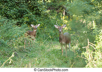 Whitetailed Bucks - Two whitetailed bucks stand in tall...
