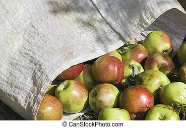 ripe plucked apples in a bag