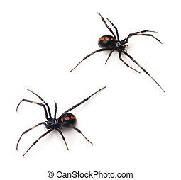 Black Widow - Two juvenile female Southern Black Widows...